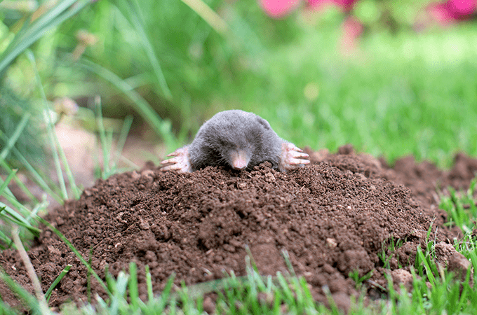 Mole Popping Out of The Ground