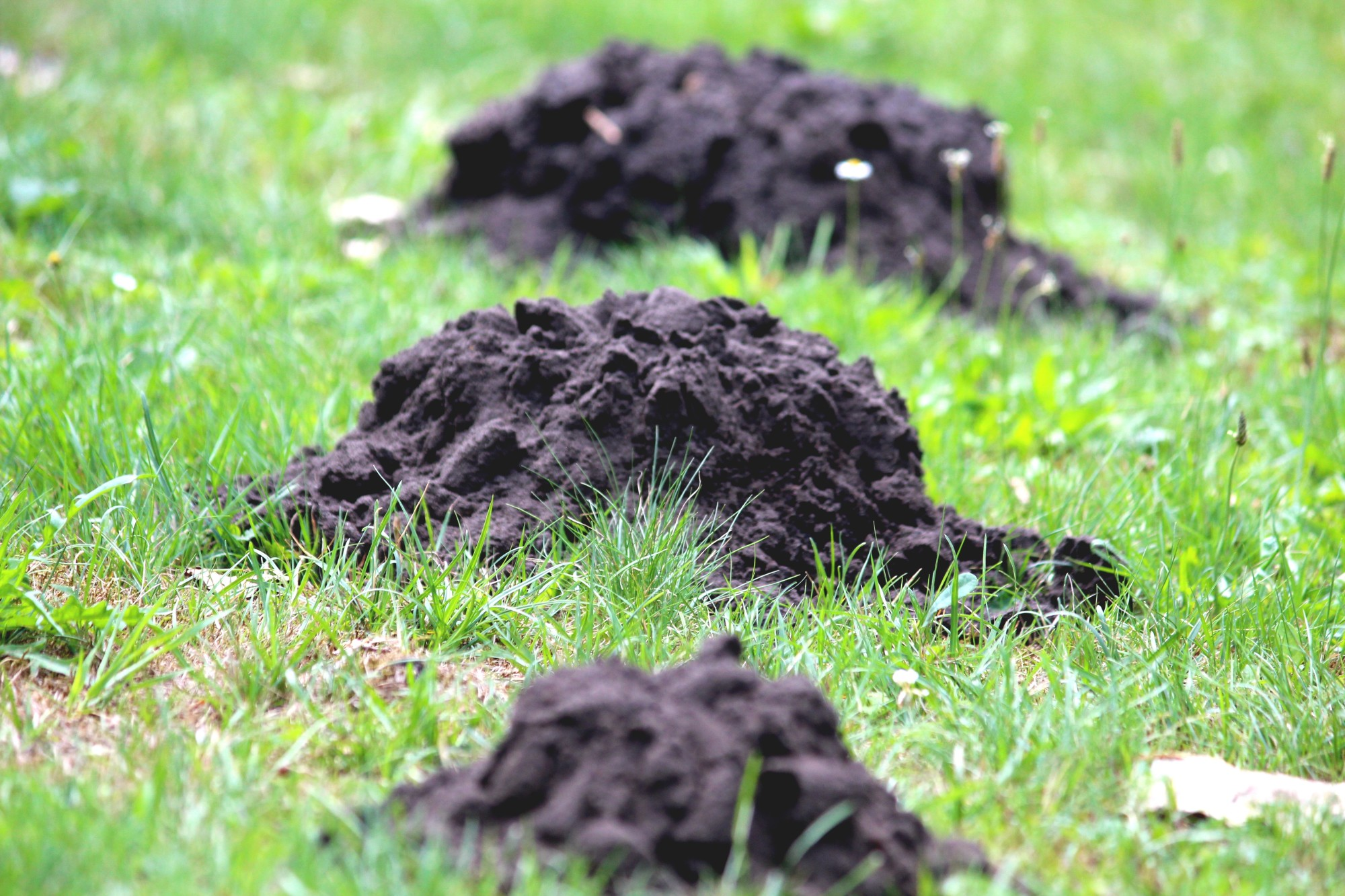 ground mole removal